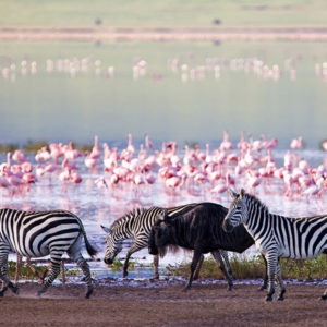 Flamingo walk Lake Natron